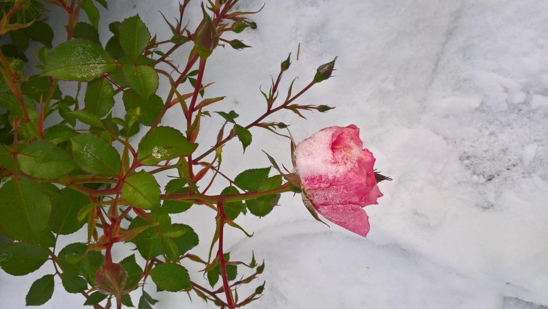 Jäätyneet ruusut ja ainutlaatuinenfestaritunnelma