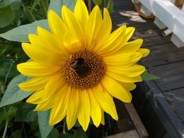 Auringonkukkia ja punahattuja