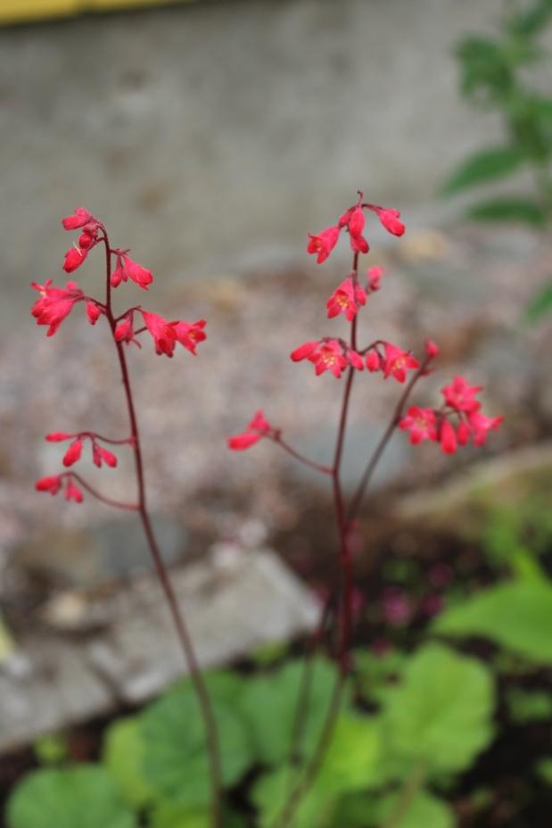 Hyötytarhan rehevyyttä ja kukkaloistonodotusta