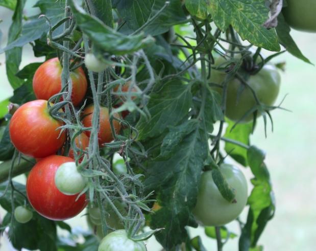 Tomaatteja kuin joulunapuuroa