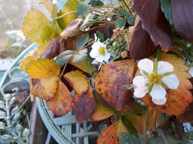 Lokakuun mansikkaruska